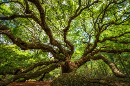 Johns Island, South Carolina의 역사적인 천사 오크 나무 밑