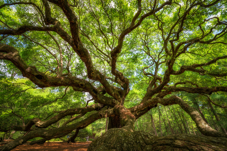Onder de historische Angel Oak Tree op Johns Island, South Carolina