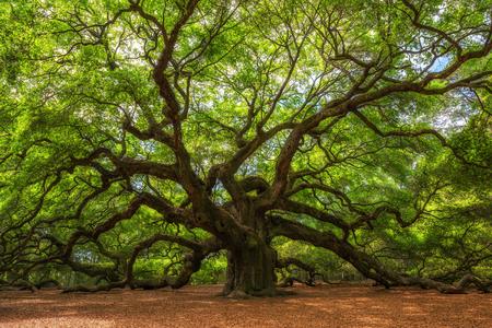 Ogromny i stary Angel Oak Tree w Południowej Karolinie Zdjęcie Seryjne