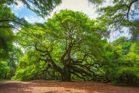 Angel Oak Tree in South Carolina
