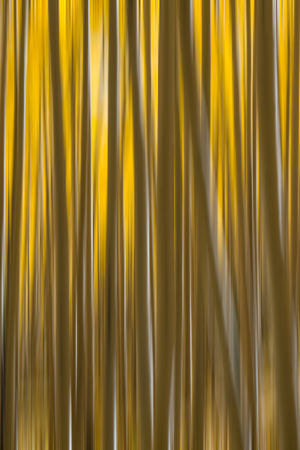 Yellow Aspen Trees abstract motion blur