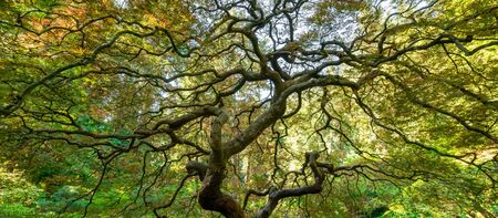 Panorama of the twisting branches from underneath the Japanese Maple Tree
