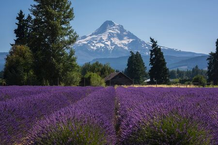 Scenic view of Mount Hood and farm land with Lavender bushes.