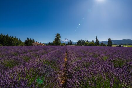 Beautiful Lavender Valley Farm and Mount Hood during the day.