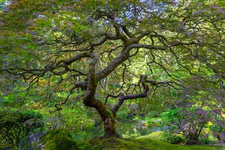 Japanese Maple tree from Portland Japanese Gardens in Portland Oregon
