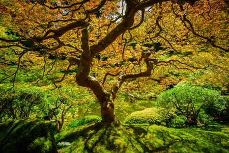 Beautiful leaves on the Japanese Maple Tree from Portland Oregon Stock fotó