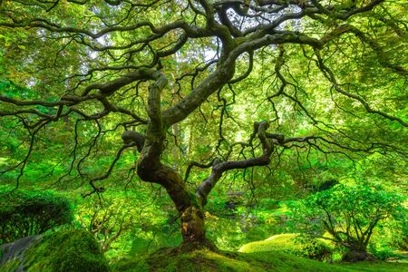 Beautiful view of the famous Japanese Maple Tree from Portland Japanese Garden