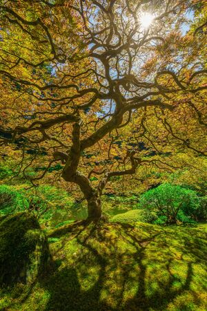Sun shining through the twisting branches of a Japanese Maple Tree in Portland, Oregon.