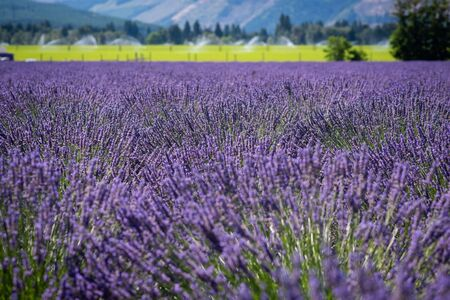Beautiful color of Lavender flowers at a farm in Oregon