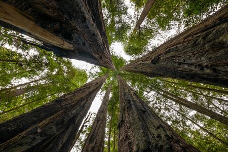 Giant Redwood trees in Jedediah Smith State Park, California