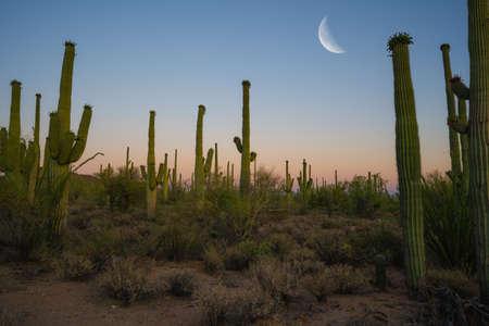Moon over Saguaro cactus at dusk in Saguaro National Park Arizona