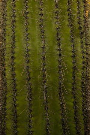Close up of rows of saguaro cactus needles Stock fotó