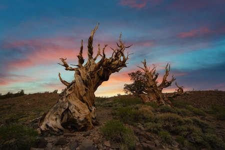 Beautiful vibrant sunrise with Ancient Bristlecone Pine Trees in California Stock fotó