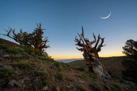 Crescent moon over Ancient Bristlecone Pine Forest in California