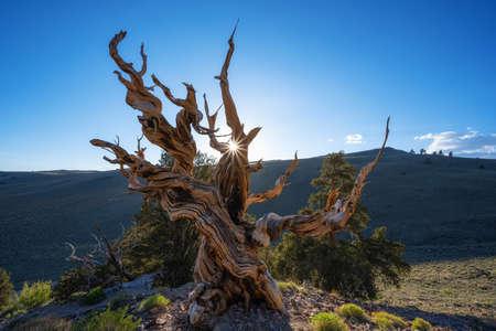 Setting sun behind a beautiful bristlecone pine tree in California Stock fotó