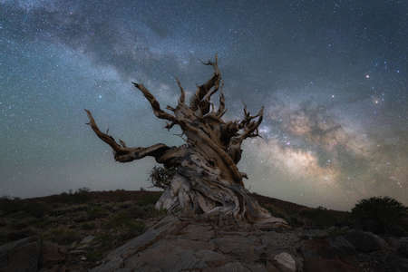 Milky Way Galaxy at Ancient Bristlecone Pine Forest in California