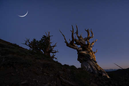 Crescent moon and stars over Ancient Bristlecone Pine Trees Stock fotó