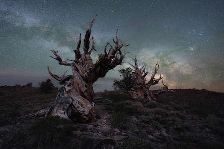 Milky Way Galaxy behind a creepy ancient bristlecone pine trees