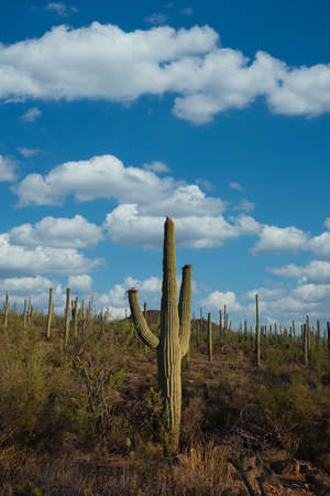 Landscape of Saguaro National Park in Arizona during the daytime