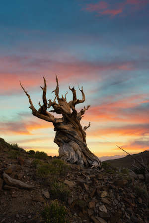 Vibrant sunrise at Ancient Bristlecone Pine Forest in Bishop California Stock fotó