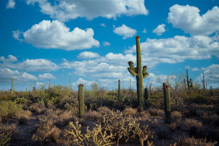 Beautiful clouds over Saguaro Cactus near Tuscon Arizona