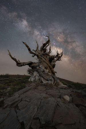 Milky Way Galaxy rising behind an Ancient Bristlecone Pine Tree in Bishop California