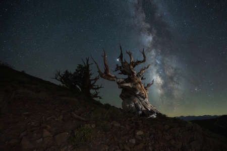 Milky Way Galaxy behind Ancient Bristlecone Pine Trees Stock fotó