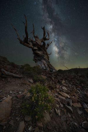 Beautiful milky way galaxy near Methusalah Tree in Ancient Bristlecone Pine Forest