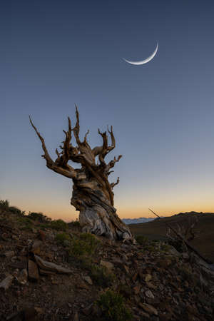 Crescent moon over an Ancient Bristlecone Pine Tree in Bishop California Stock fotó