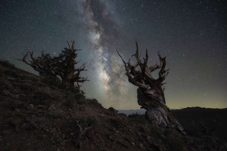 Silhouette of Ancient Bristlecone Pine Trees with the Milky Way Galaxy