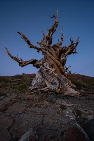 Creepy ancient bristlecone pine tree at blue hour