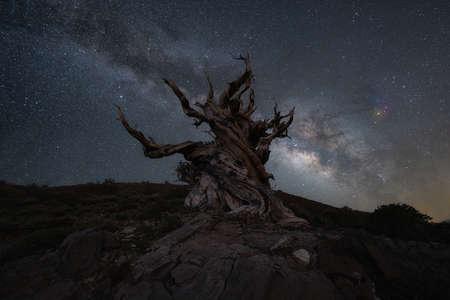 Milky Way Galaxy behind a creepy ancient bristlecone pine tree Stock fotó