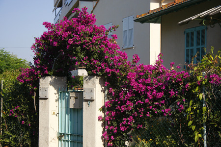 d: Impressions: Bougainville Bougainvillea, Cannes, Cote d Azur, France  Cannes, Cote d