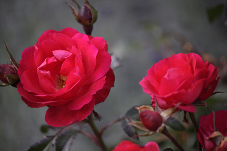 saxon: red roses - Saxon Switzerland.
