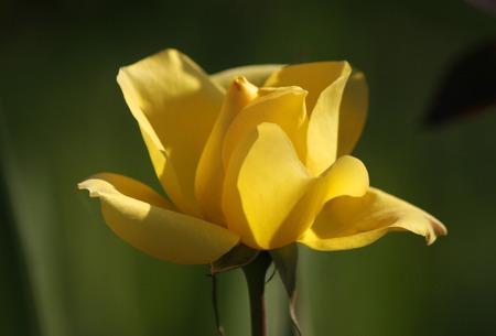 saxon: yellow rose - Saxon Switzerland. Editorial