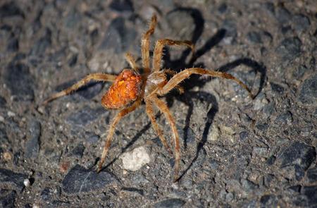 saxon: reddish spider - Saxon Switzerland.