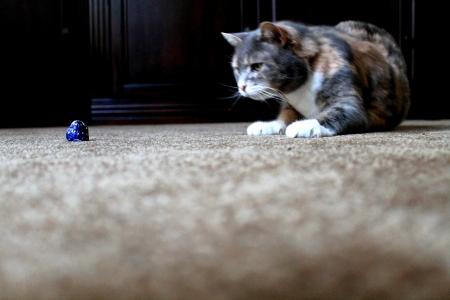 猫捕食チョコレート
