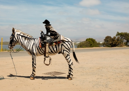 trippy: Dog with zebra jacket riding a horse spray painted to look like a zebra on the side of the road in Mexico. Stock Photo