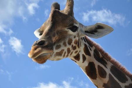 Giraffe Stock Photo - 8299138