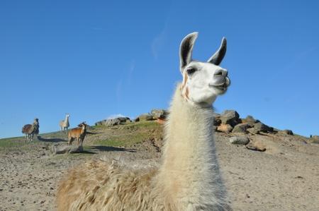 Alpacas  Фото со стока