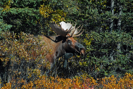 encounters: Bull Moose