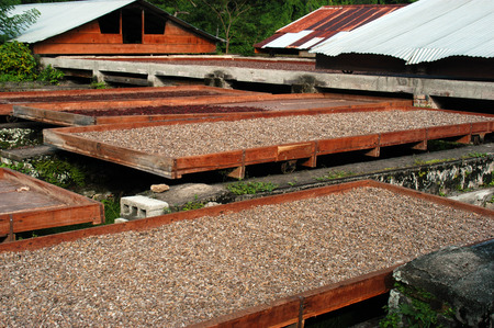 cocoa bean: Cocoa Beans Drying