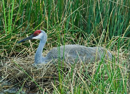 sandhill crane: Sandhill Crane on Nest 17
