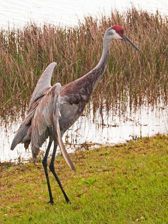sandhill crane: Mating Dance - Sandhill Crane Stock Photo