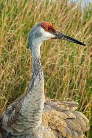 sandhill crane: Male Sandhill Crane Stock Photo