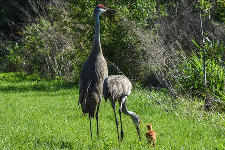 sandhills: Sandhills crane family