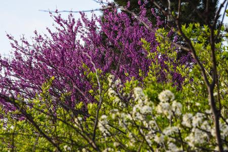 sicomoro: alberi selvatici Sycamore