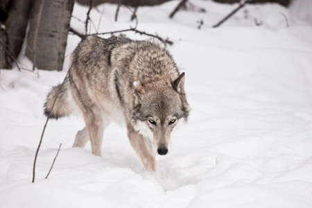The wolf walks with his head down. The wolf walks through the snow in winter, a powerful and dangerous wild beast. Stock fotó