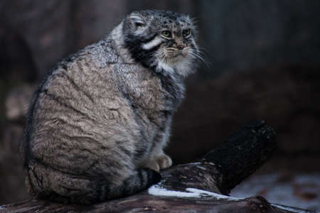 The wild cat manul sits on a stump and looks around with an angry look, an angry and angry cat.
