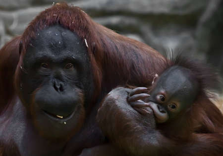 The sly and broken mother of an orangutan with a baby seems to be begging. monkey with cub.